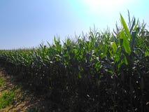 等待的玉米是收获 库存图片