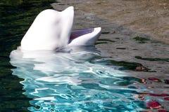 等待的白海豚 图库摄影