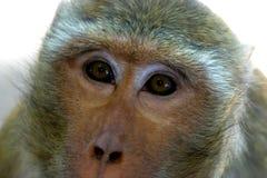 等待自由午餐的泰国寺庙短尾猿` s 库存照片