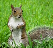 等待花生的好奇灰鼠 免版税库存照片