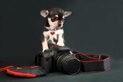 等待谬斯-与照片照相机的奇瓦瓦狗小狗 免版税库存图片