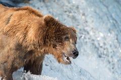等待阿拉斯加的棕熊捉住三文鱼 免版税库存图片
