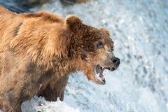 等待阿拉斯加的棕熊捉住三文鱼 图库摄影