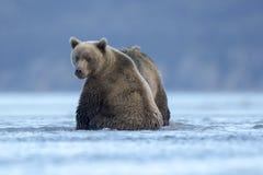 等待食物的北美灰熊崽 库存图片