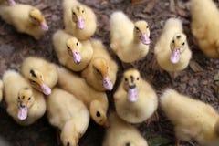 等待饲养时间的饥饿的鸭子 库存图片