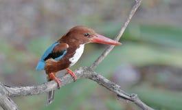 等待鱼的白色红喉刺莺的翠鸟 免版税图库摄影