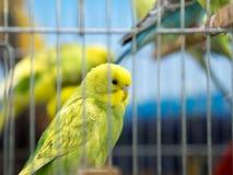 等待黄色的budgies被卖在笼子 免版税库存图片