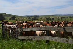 等待他们的轮的母牛在门 库存照片