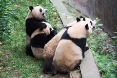 等待foo的四只幼小熊猫 免版税库存照片