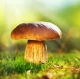 等概率圆蘑菇。 牛肝菌蕈类 库存图片