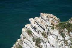筑巢在峭壁的海鸥 免版税图库摄影