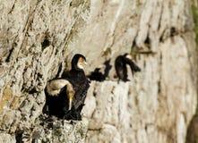 筑巢在开普角峭壁的里德鸬鹚  库存照片