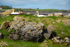 筑巢在Kinvarra,爱尔兰附近的天鹅 库存照片
