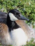筑巢女性放置在羽毛围拢的都市灌木巢的加拿大鹅下来在印第安纳波利斯怀特河国家公园我 免版税库存图片