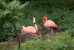 筑巢美国火鸟- Phoenicopterus ruber 图库摄影