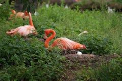 筑巢美国火鸟- Phoenicopterus ruber 免版税图库摄影