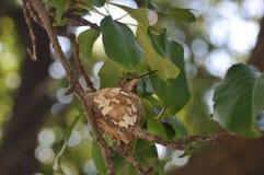 筑巢黑色chinned蜂鸟 库存照片