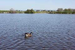 筑成池塘与在距离的小山与鹅 免版税库存照片