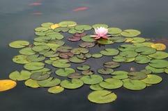 筑成池塘与桃红色荷花和koi鱼 免版税库存图片