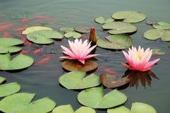 筑成池塘与桃红色荷花和koi鱼 免版税库存照片