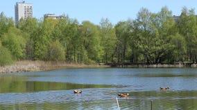 筑成池塘与鸭子在春天城市公园 股票视频