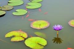 筑成池塘与紫色荷花和koi鱼 免版税库存照片
