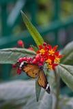 简单的老虎或非洲国君,丹尼亚斯chrysippus 库存照片