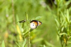 简单的老虎蝴蝶和毛虫 库存照片