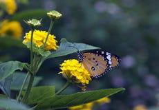 简单的老虎蝴蝶或非洲国君(丹尼亚斯chrysippus 免版税库存照片