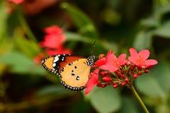 简单的老虎蝴蝶画象 免版税图库摄影