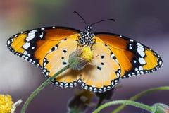 简单的老虎蝴蝶 免版税库存照片