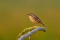 简单的prinia或者平原或者白browed鹪鹩鸣鸟& x28; Prinia inornata& x29; 免版税图库摄影