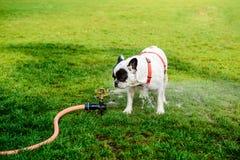从水管的法国牛头犬饮用水在公园 库存图片