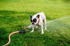 从水管的法国牛头犬饮用水在公园 图库摄影