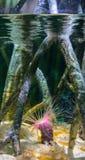 管银莲花属或圆筒银莲花属, Cerianthus membranaceus 免版税库存照片