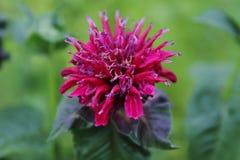 管香蜂草,在紫罗兰色红色 免版税库存照片