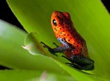 箭青蛙毒物红色 免版税库存图片