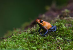 箭青蛙毒物红色 库存图片