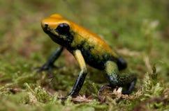 箭青蛙 免版税图库摄影