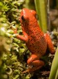 箭青蛙 免版税库存图片