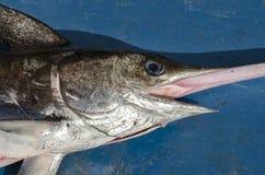 箭鱼 免版税图库摄影