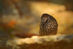 箭头明显的说话模糊不清的人, Turdoides jardineii,异乎寻常的灰色非洲鸟细节与红色眼睛在自然栖所, Chobe全国P的 库存照片