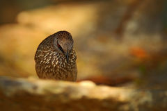 箭头明显的说话模糊不清的人, Turdoides jardineii,异乎寻常的灰色非洲鸟细节与红色眼睛在自然栖所, Chobe全国P的 免版税图库摄影