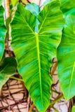 箭头植物 免版税库存图片
