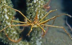 箭头螃蟹seticornis stenorhynchus yellowline 图库摄影