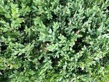 箱子灌木 在视图之上 调遣结构树 免版税库存照片