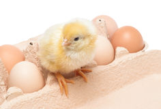 箱子用鸡蛋和一只小的鸡 库存照片