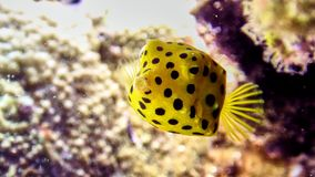 箱子鱼在红海 免版税图库摄影
