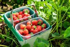 箱新近地摘的草莓 免版税库存图片