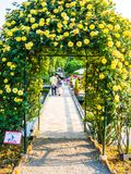 箱根,日本- 2017年7月02日:关闭美丽的春天黄色花在日本成拱形 免版税库存图片